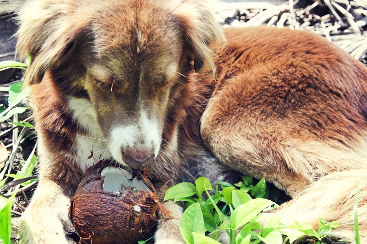 Dog Eating a Coconut in Costa Rica