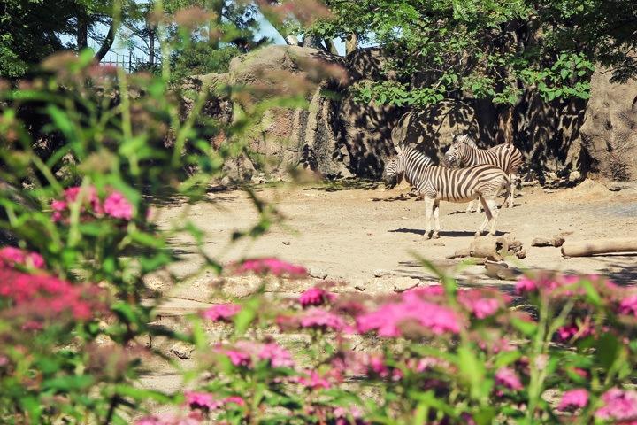 Zebras at Philadelphia Zoo