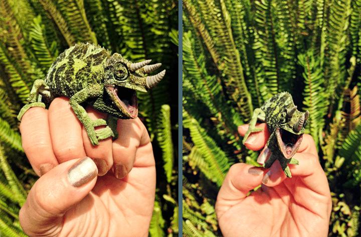 Maui Reptile