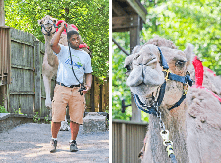 Camels at The Philadelphia Zoo