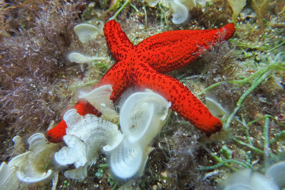 Starfish in Malta
