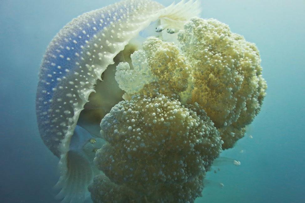 Jellyfish Koh Tao