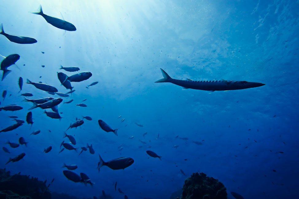 Barracuda in Santorini