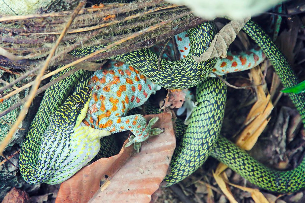 Snake Eating Gecko on Koh Tao