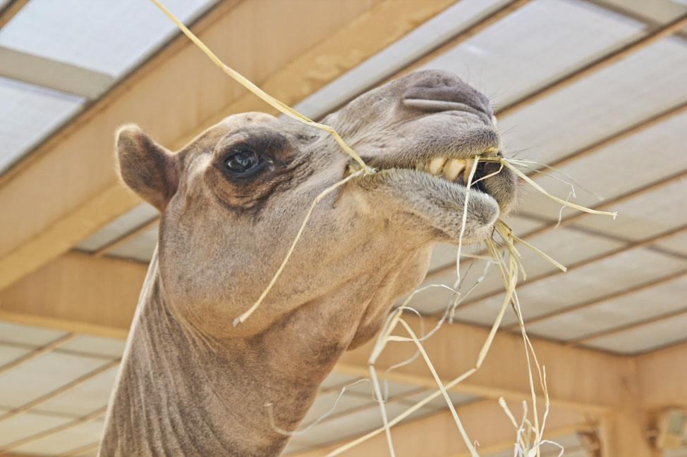 Royal Camel Farm Bahrain