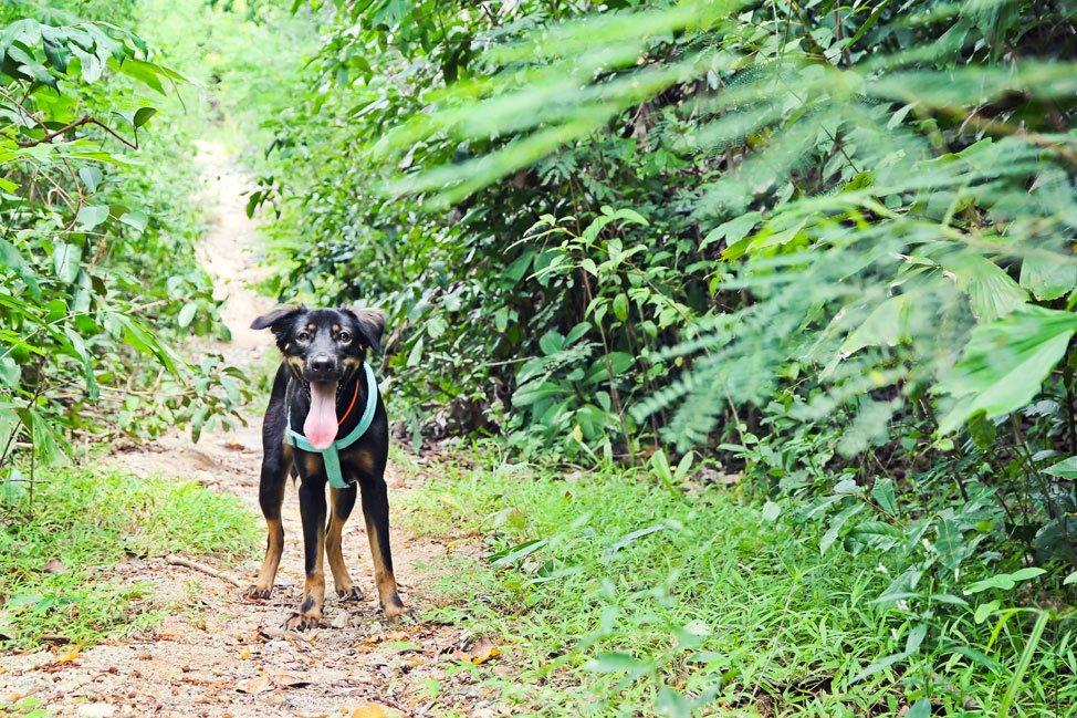 Dogs on Koh Tao