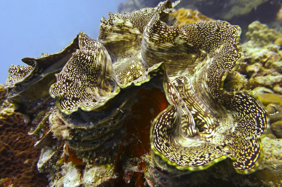 Giant Clam at Chumphon