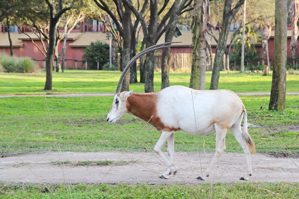 Animal Kingdom Lodge Kidani Village Savannah