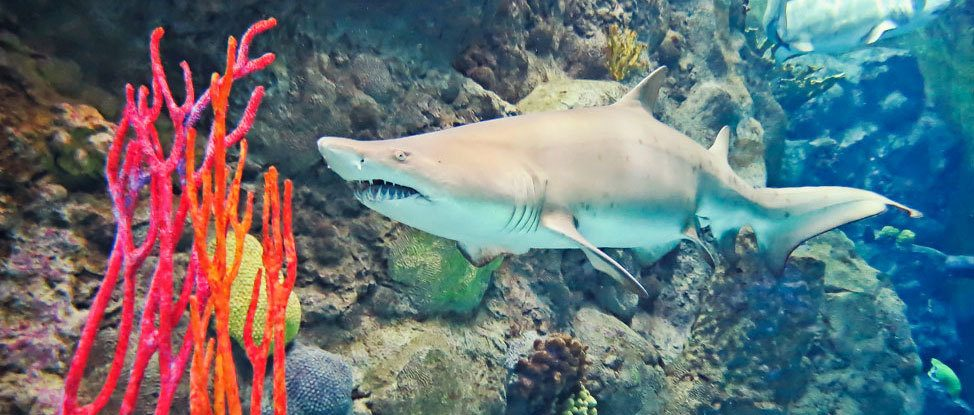 Just When You Thought It Was Safe To Go Back in the Aquarium: Diving with Sharks in Tampa thumbnail