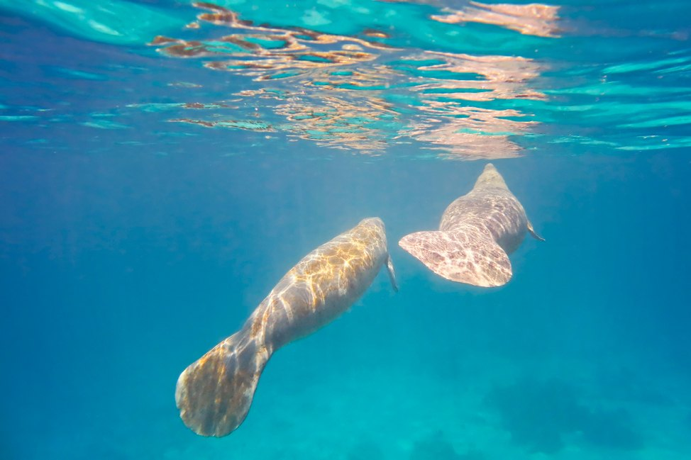 Snorkeling with Manatees in Belize