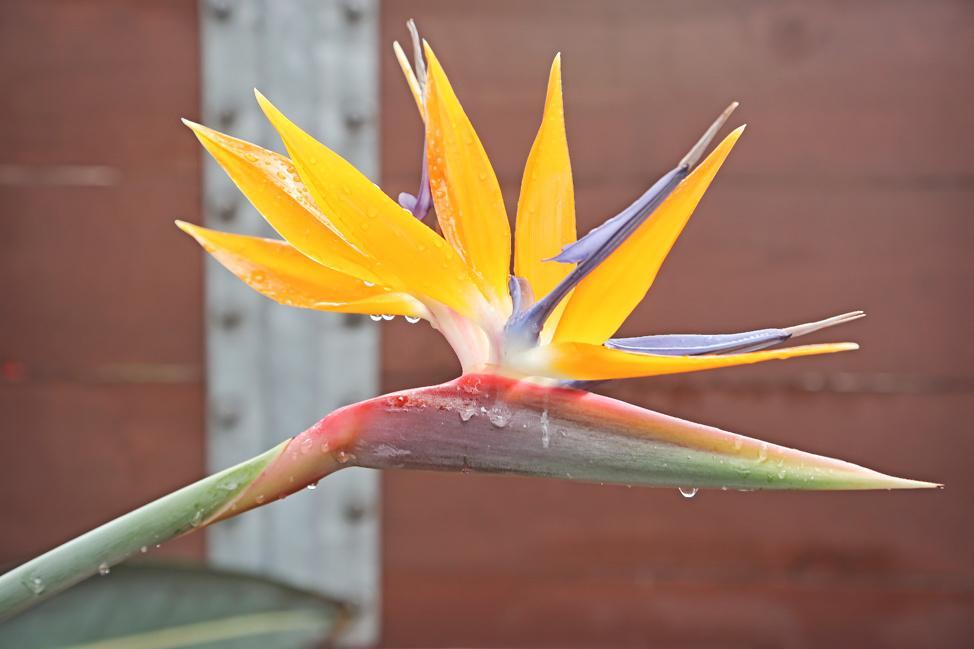 Bird of Paradise Flower in San Diego