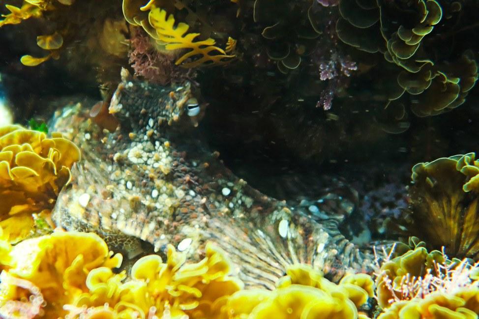 San Diego Octopus