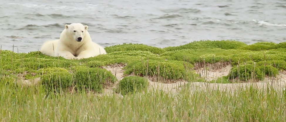 Belugas, Bears and Blooms: Summer in Churchill thumbnail