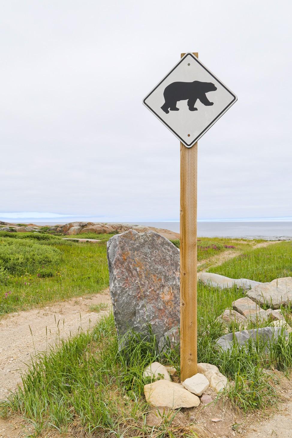 Polar Bear Crossing Churchill Manitoba