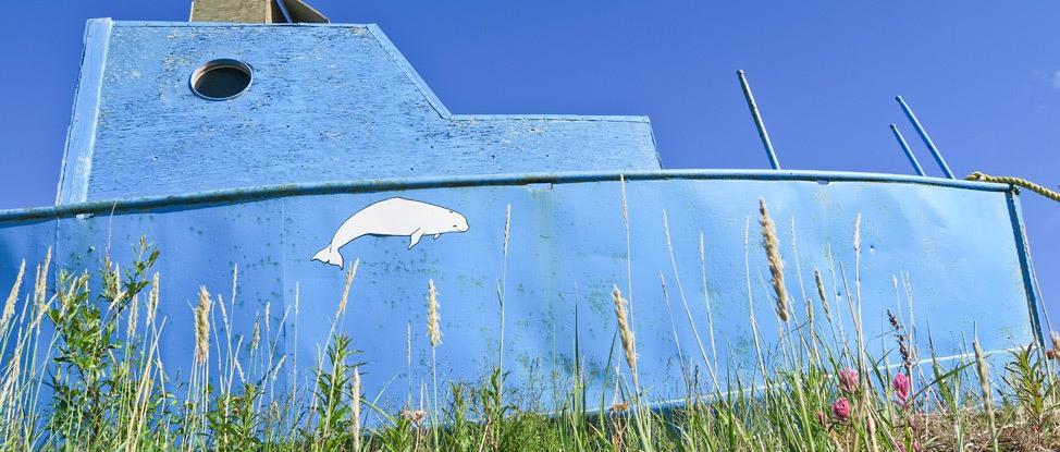 Befriending Beluga Whales in Manitoba thumbnail