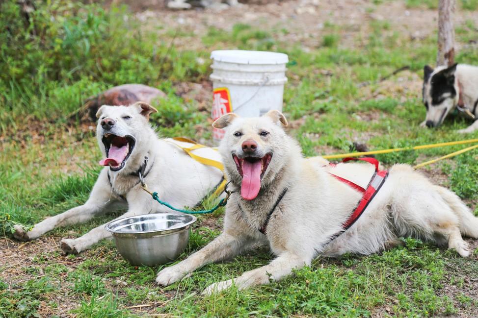 Summer Dog Carting in Churchill Manitoba