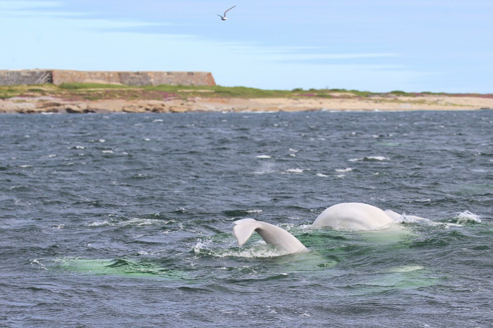 Beluga Whales and Prince of Wales Fort