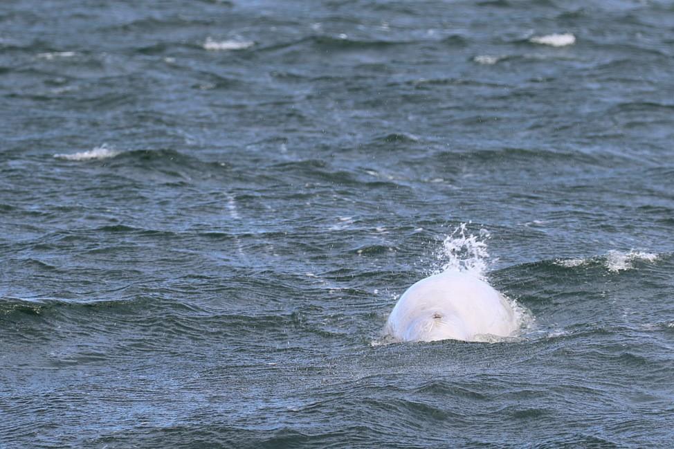 Beluga Whales Churchill Manitoba