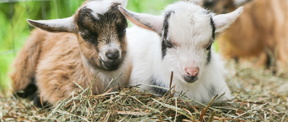 Move to The Bleat! Goat Yoga in Martha's Vineyard thumbnail