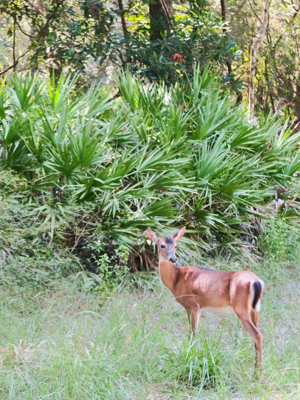 Wild deer at Manatee Springs State Park
