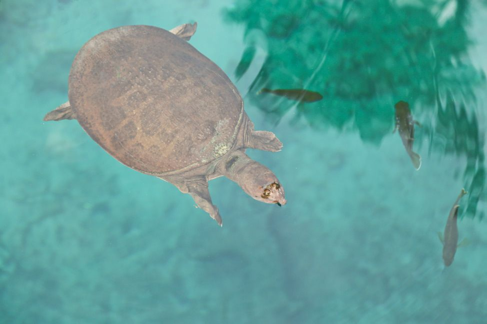 Virgil the Turtle, Blue Grotto, Williston, Florida