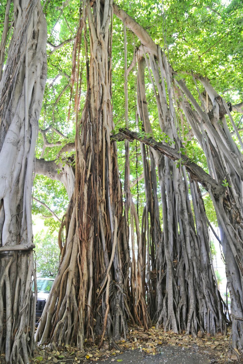 Banyan Trees, Oahu