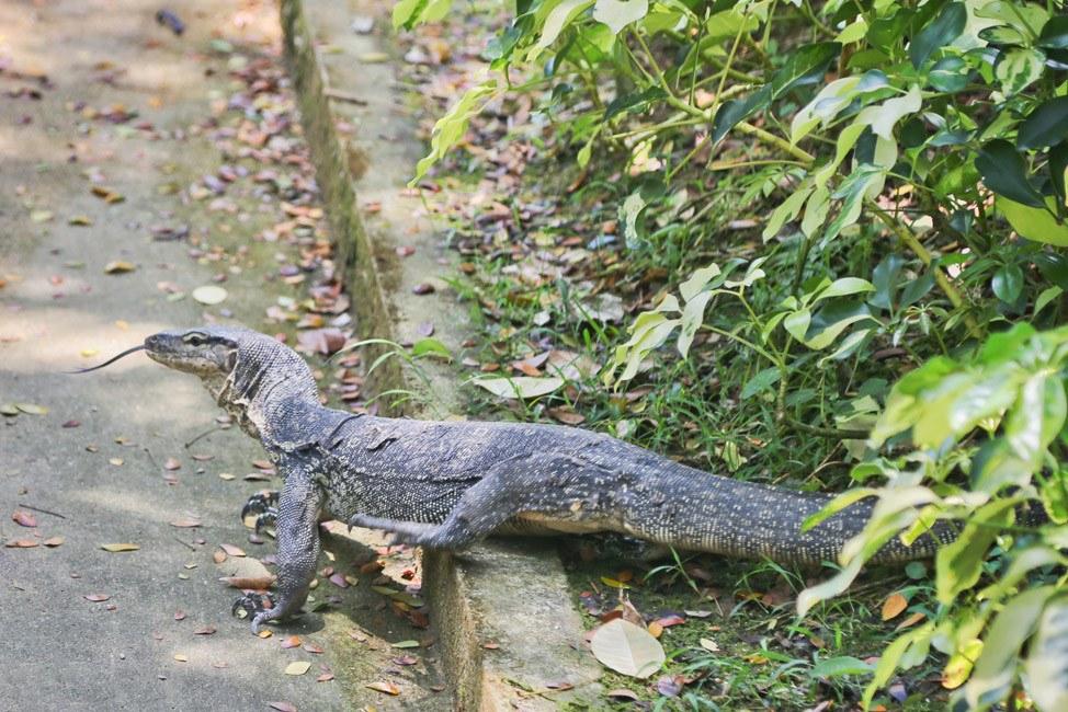 Monitor Lizard in Singapore