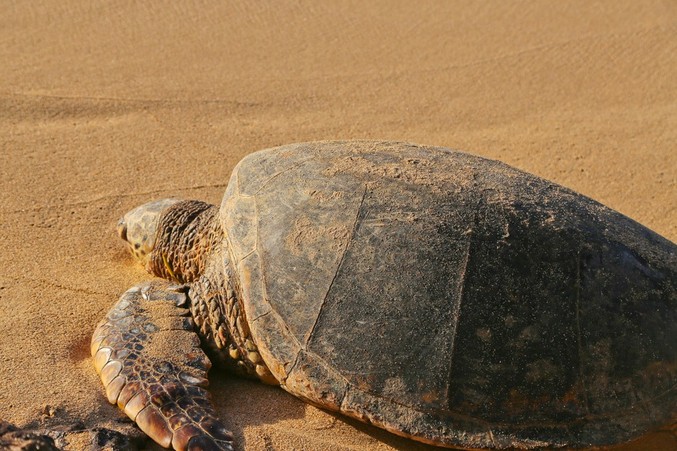 Sea turtle at Baldwin Beach Park, Paia, Maui
