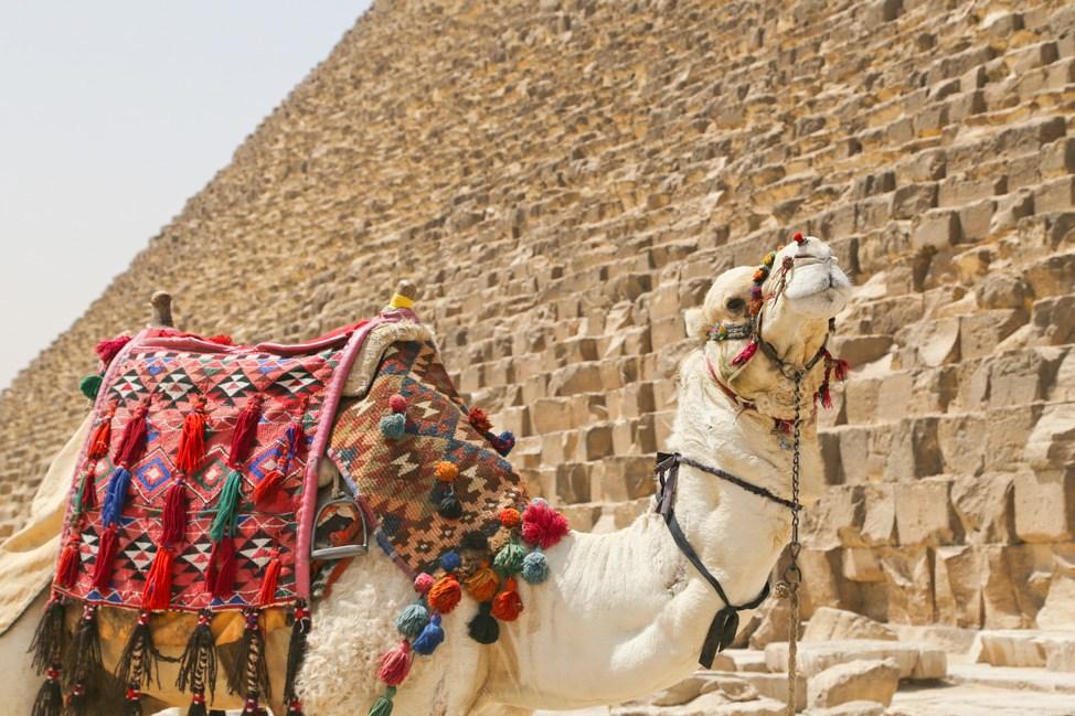 Camel at Pyramids of Giza