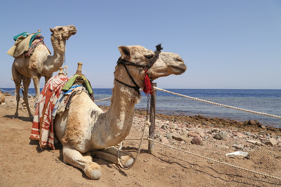 Camels at the Blue Hole, Dahab, Egypt