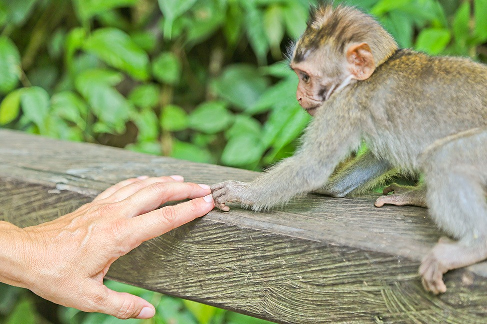 Human and monkey hold hands at Monkey Forest, Bali
