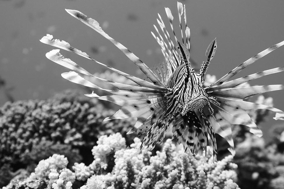 Lionfish in Ras Abu Galum, Sinai, Egypt