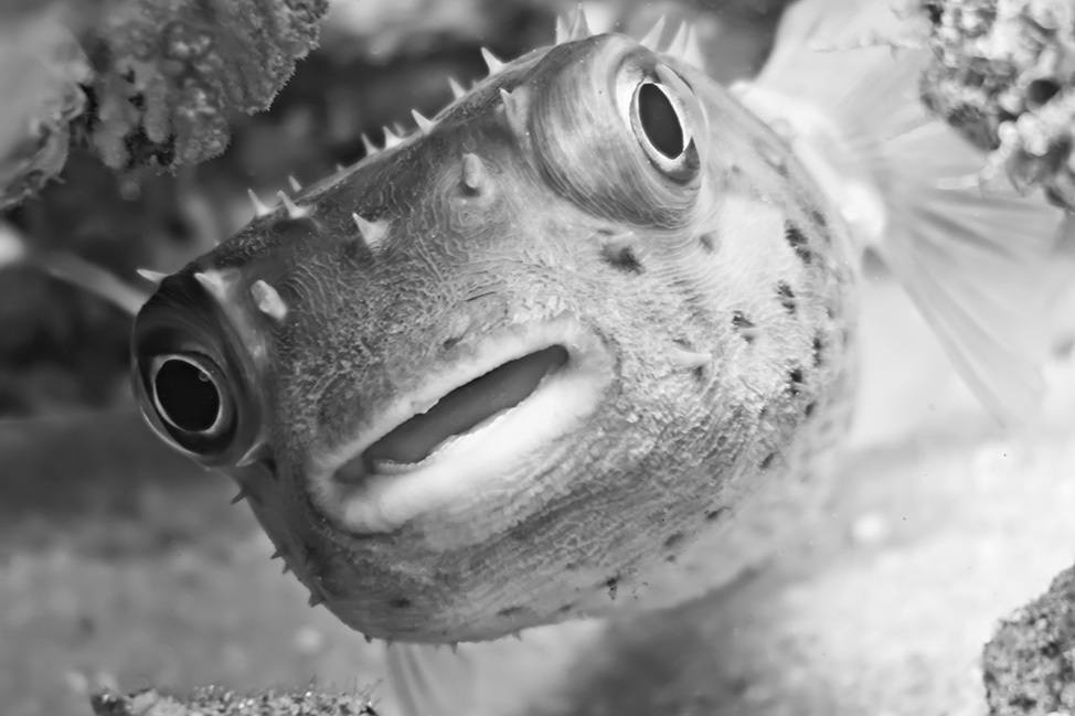 Pufferfish in Ras Abu Galum, Sinai, Egypt