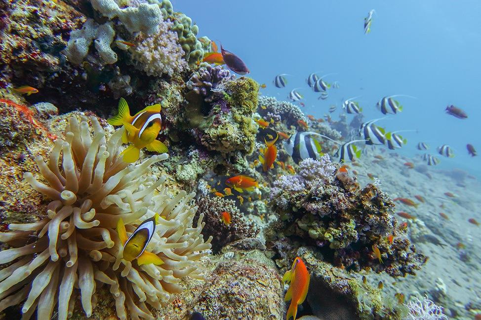 Scuba Diving in Ras Abu Galum, Sinai, Egypt