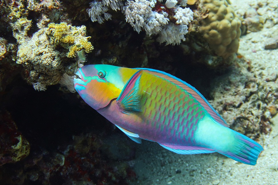 Parrotfish in Ras Abu Galum, Sinai, Egypt
