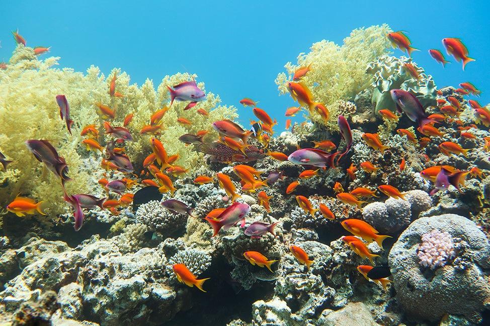 Scuba Diving Guide to Ras Abu Galum, Sinai, Egypt