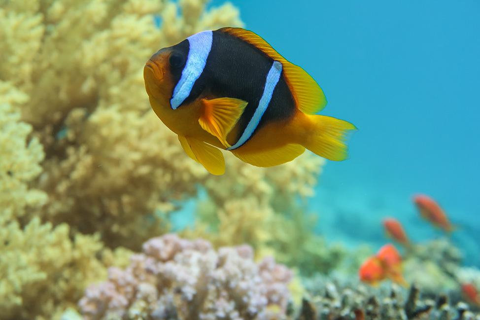 Clownfish in Ras Abu Galum, Sinai, Egypt