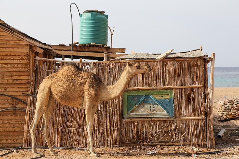 Camel in Ras Abu Galum, Egypt