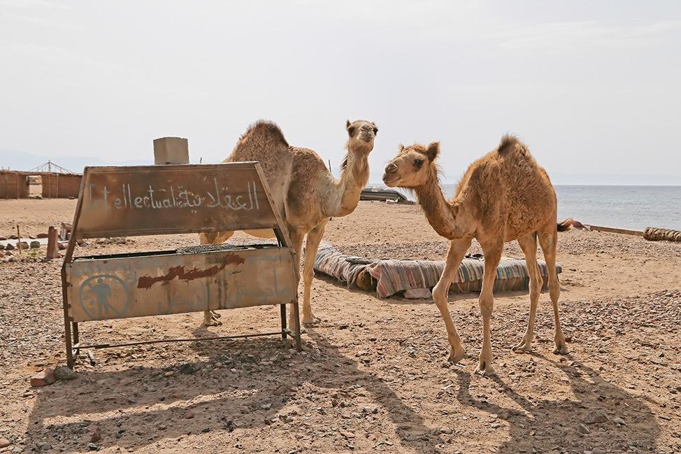 Camels in Ras Abu Galum, Egypt