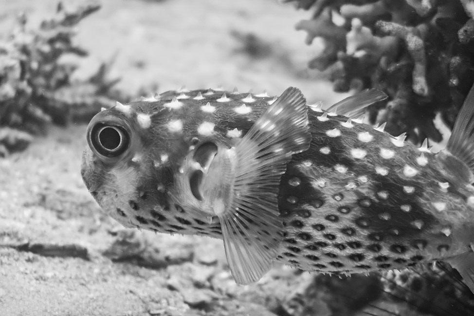Pufferfish in Red Sea, Eilat, Israel