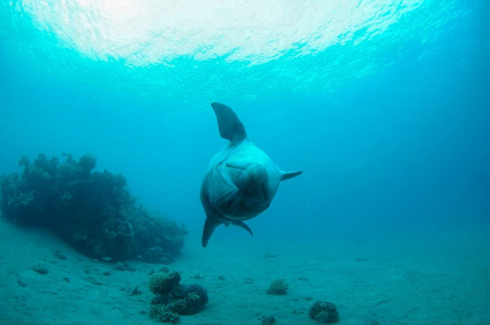 Diving with dolphins in Eilat, Red Sea, Israel