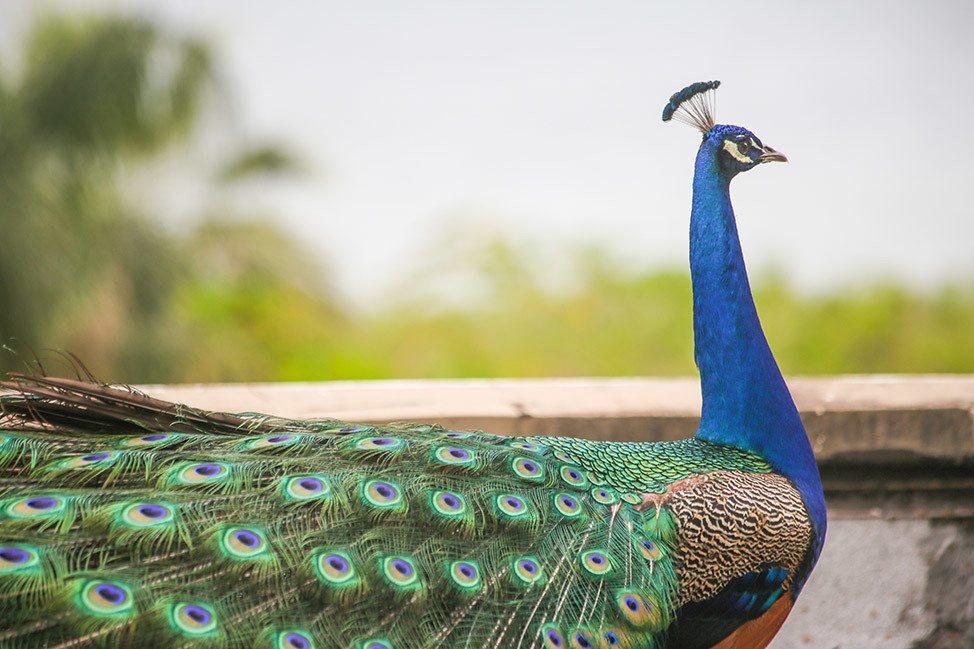 Peacock in Israel