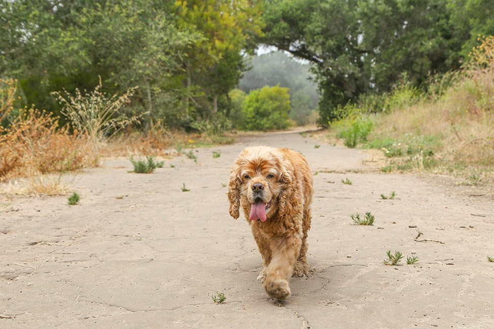 Cocker Spaniel at Dog Friendly Douglas Family Preserve Hiking Walking Trail Santa Barbara