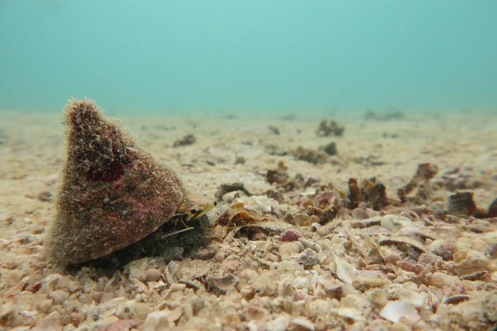 Hermit Crab at Junkyard Dive Site, Koh Tao, Thailand