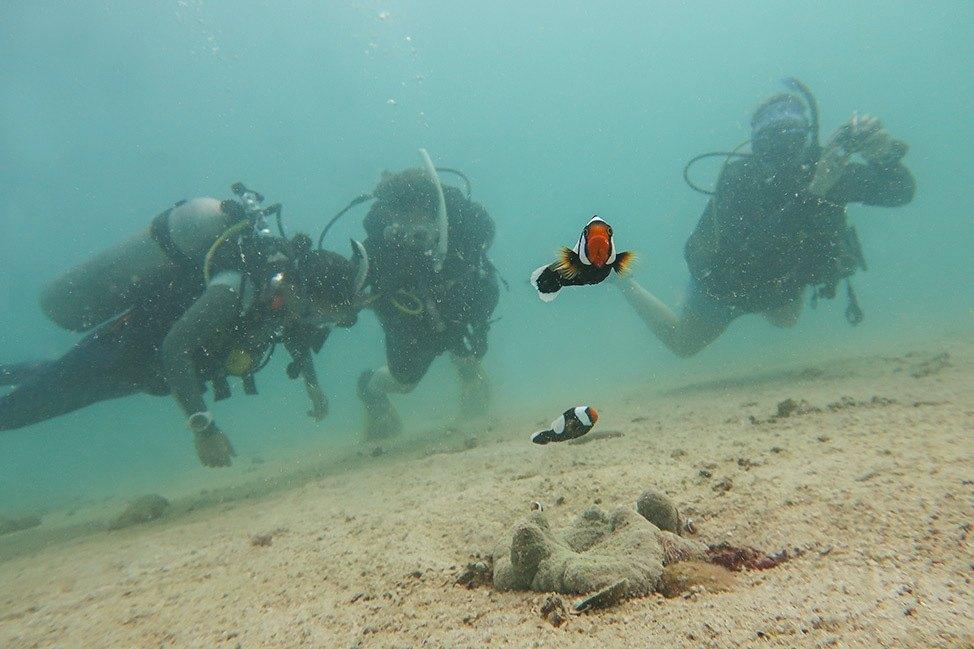 Clownfish at Junkyard Dive Site, Koh Tao, Thailand