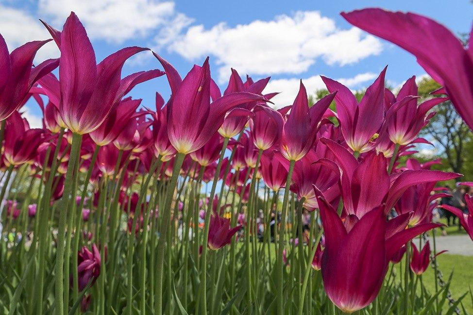 Tulip Fest in Albany, New York
