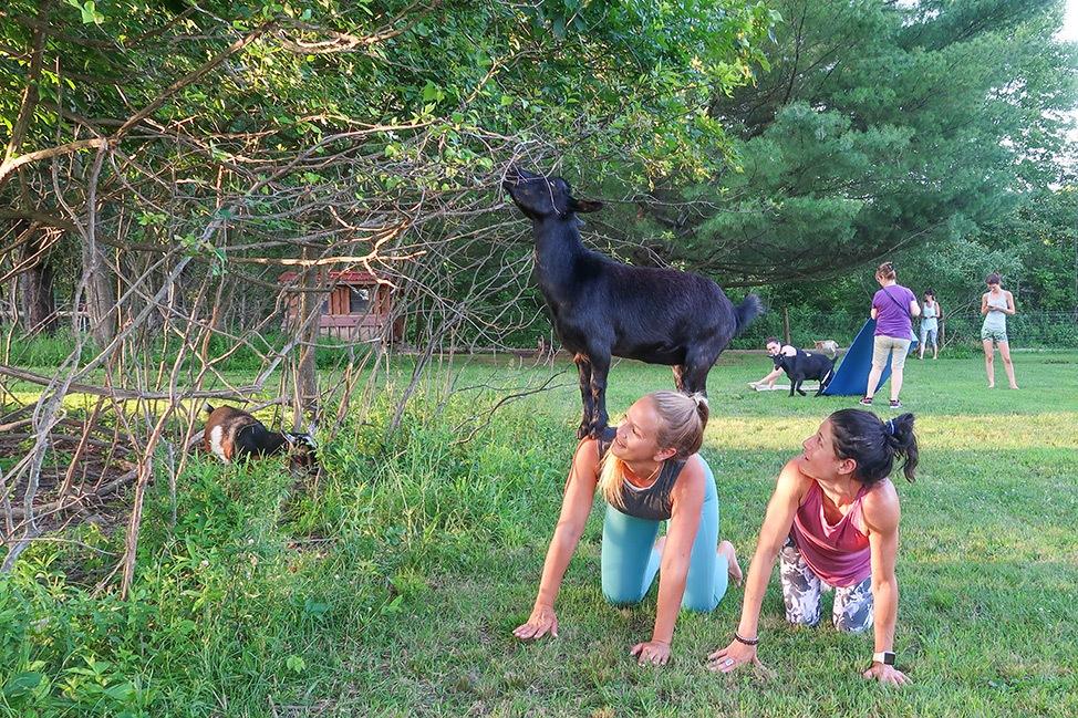 Goat Yoga at June Farms in New York