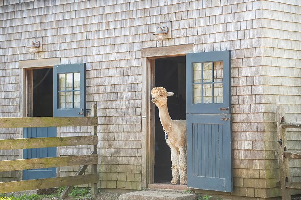Island Alpaca in Martha's Vineyard