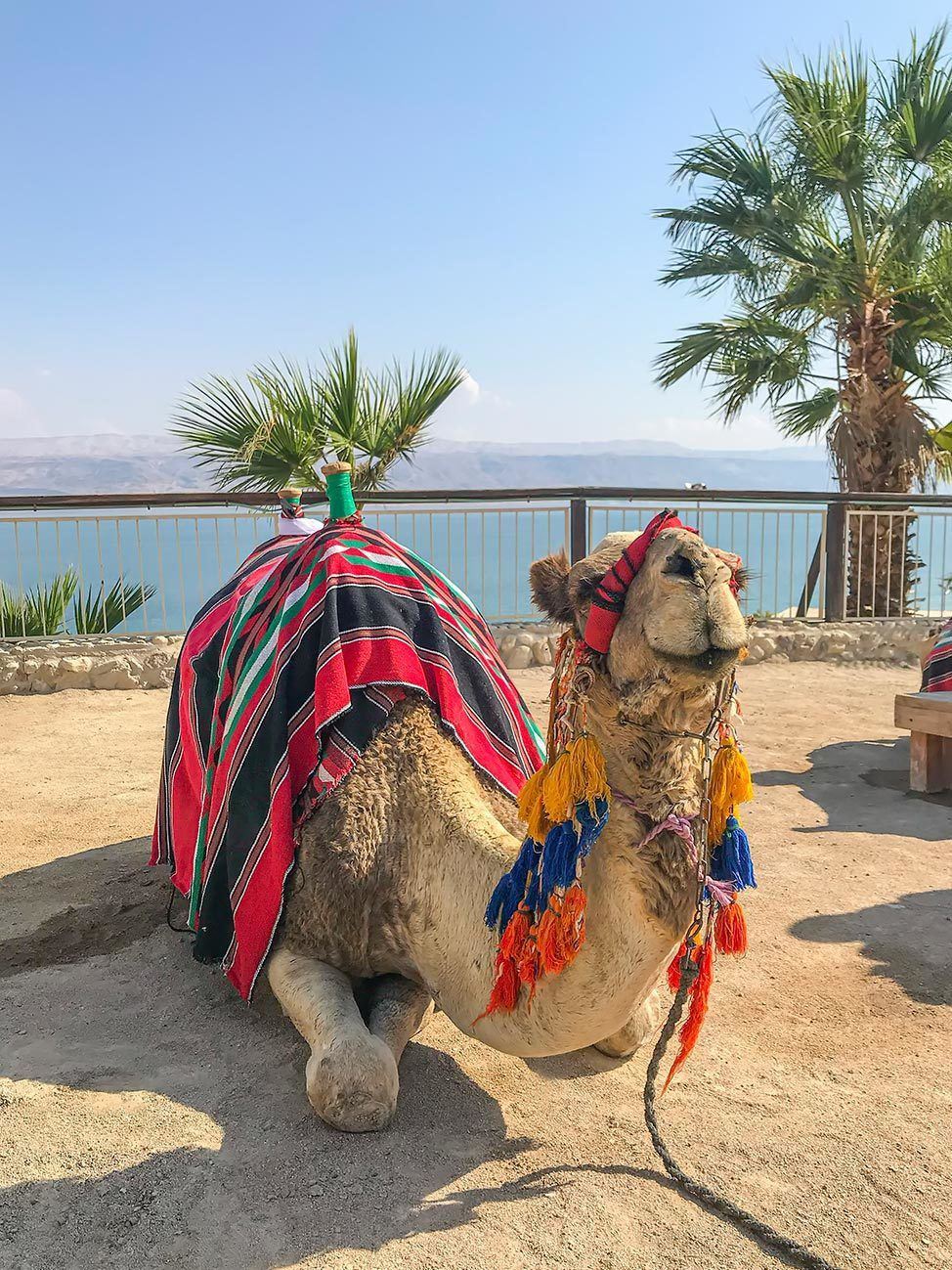 Camel at Kalia Beach, Dead Sea