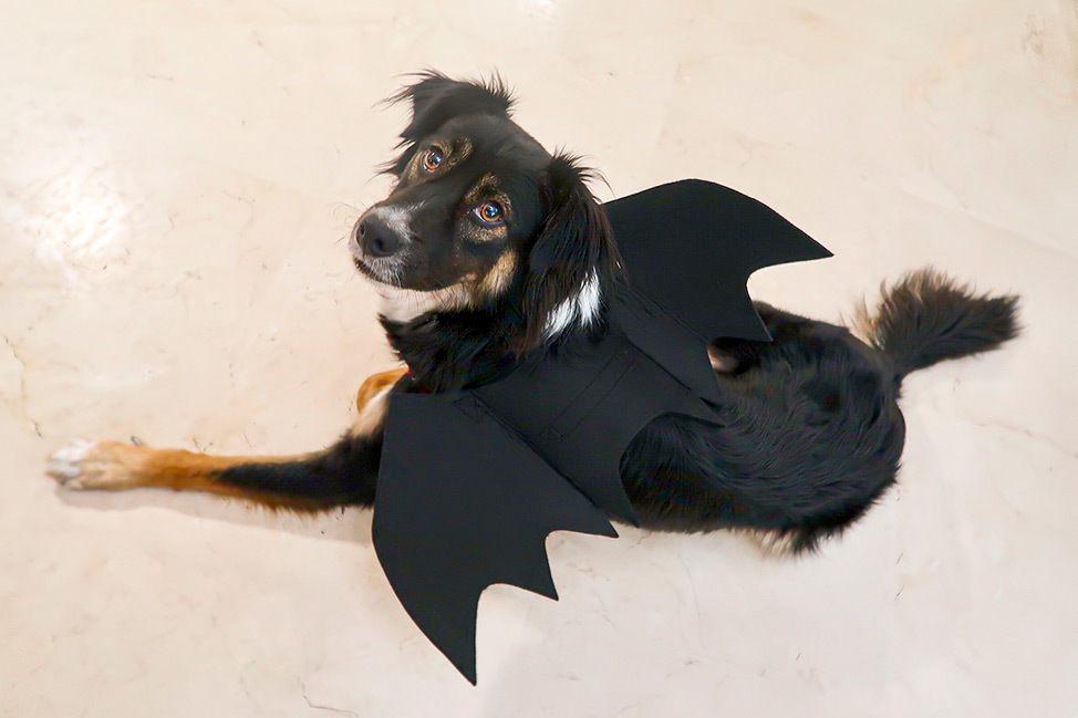Dog Halloween in Tel Aviv